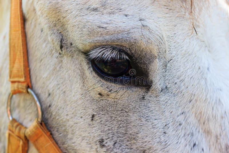 zamknięte oczy konia w górę białych zdjęcia royalty free