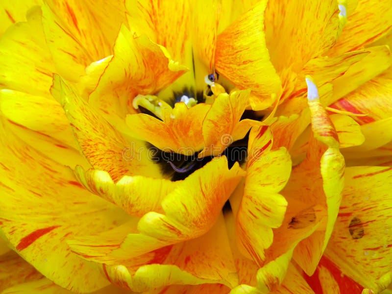 zamkniętego kwiatu makro- tulipan w górę kolor żółty zdjęcie royalty free