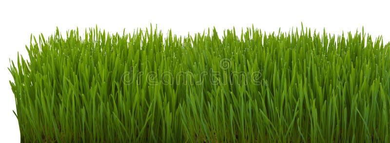 zamkniętej świeżej trawy gęsty up zdjęcie royalty free