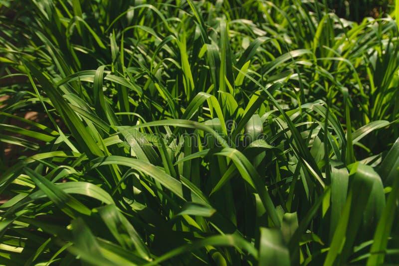 zamkniętej świeżej trawy gęsty up obraz royalty free
