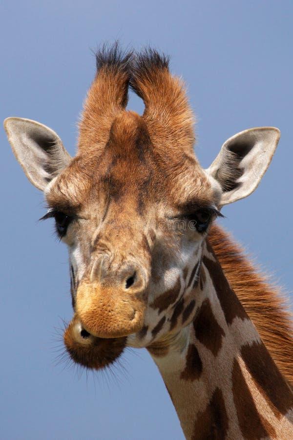 zamknięty żyrafy portreta rothschild zamknięty zdjęcie stock