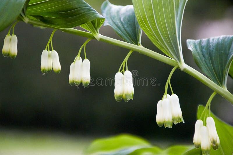 Zamknięty bellflower okwitnięcie z rzędu zdjęcia royalty free