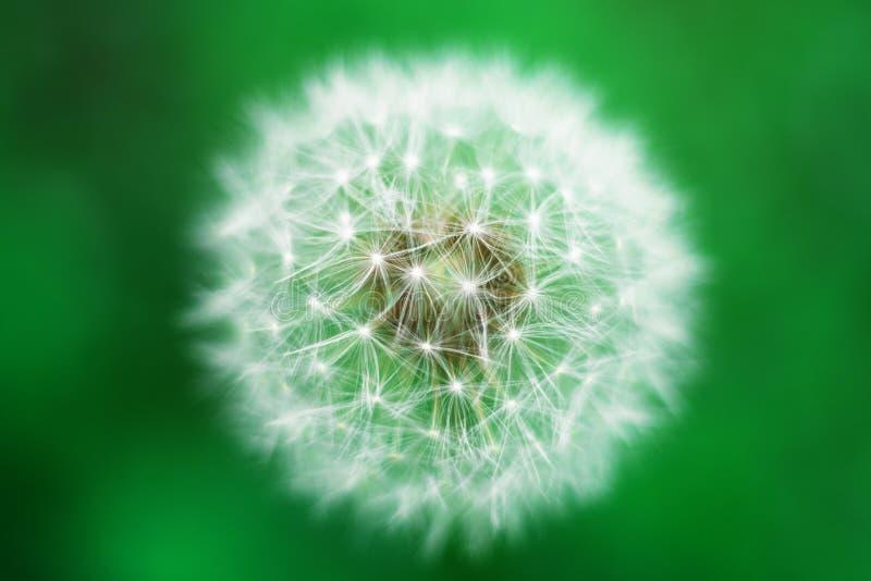 zamknięty dandelion zamknięty kwiat zdjęcie stock