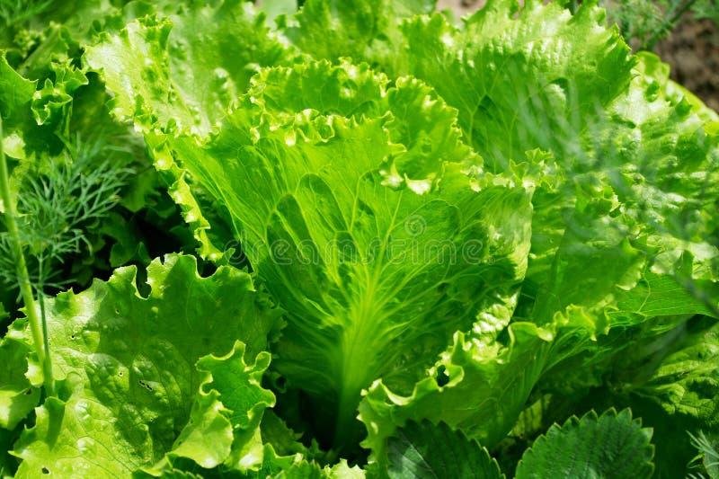 zamknięty dzień liść sałaty pogodny up zdjęcie royalty free