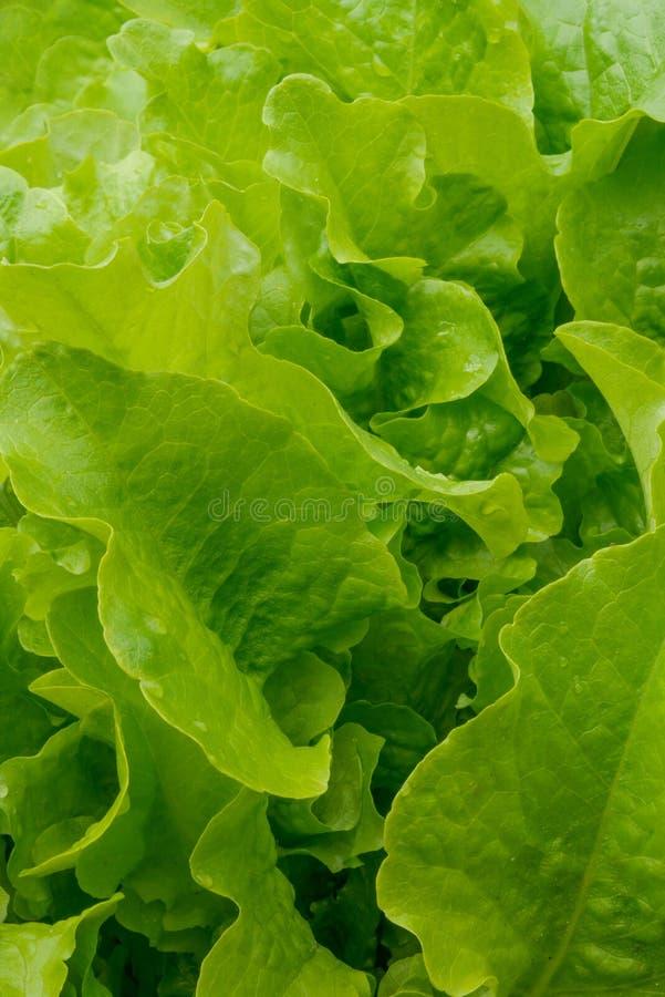 zamknięty dzień liść sałaty pogodny up obrazy stock