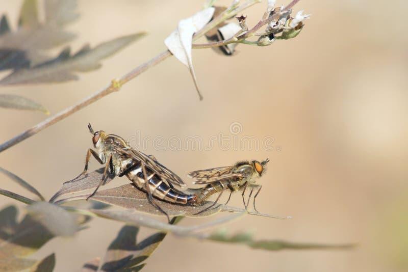 zamknięty krańcowy lata insekty inny drapieżnika inny rabuś zdjęcia stock