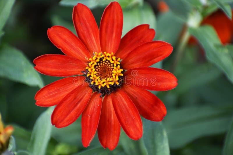 zamknięty kwiat zamknięta czerwień obraz royalty free