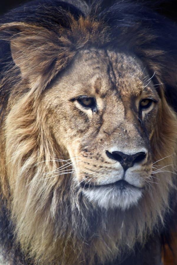 zamknięty lew obrazy royalty free