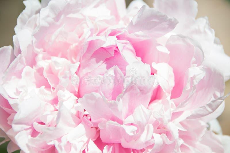 zamknięty peoni zamknięte menchie Piękny kwiat, makro- Płatki zamknięci obraz royalty free