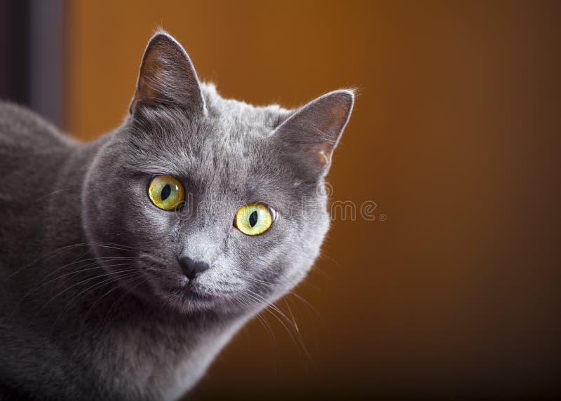 Zamknięty portret żeński błękitny rosjanin, carthusian kot/ zdjęcie royalty free