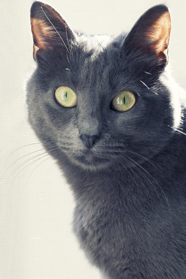 Zamknięty portret żeński błękitny rosjanin, carthusian kot/ obrazy stock