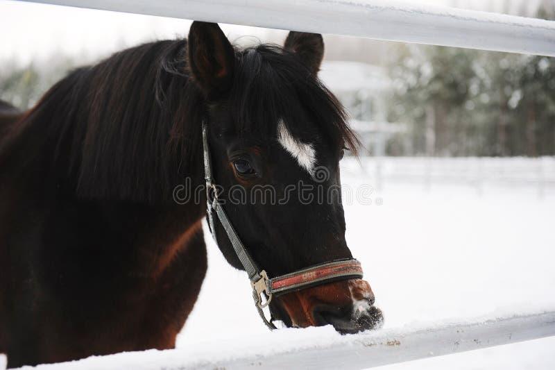 Zamknięty portret brown koń na tle zima monochromu krajobraz zdjęcia stock