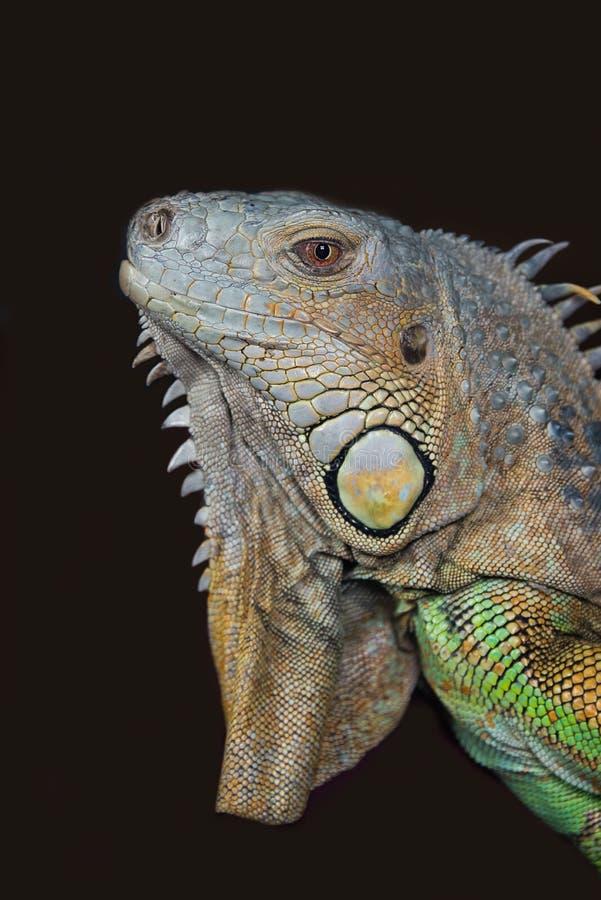 Zamknięty portret iguana obraz royalty free