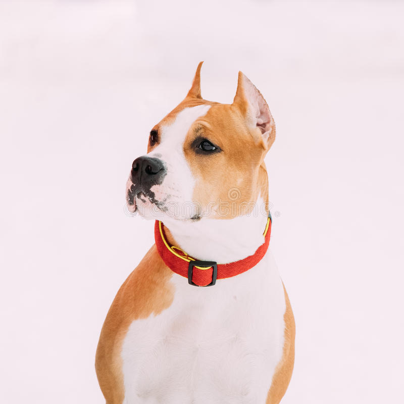 Zamknięty portret Piękny Psi Amerykański Staffordshire Terrier Biały Śnieżny tło fotografia royalty free