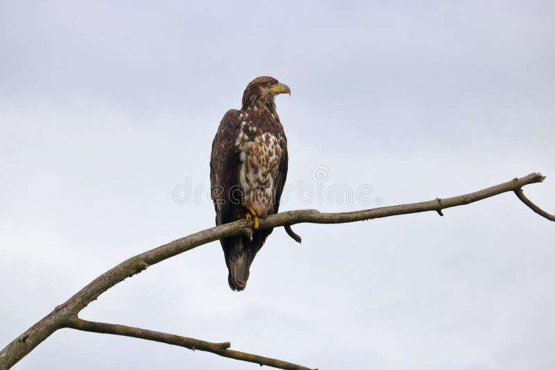 Zamknięty Profilowy Łysego Eagle roczniak fotografia royalty free