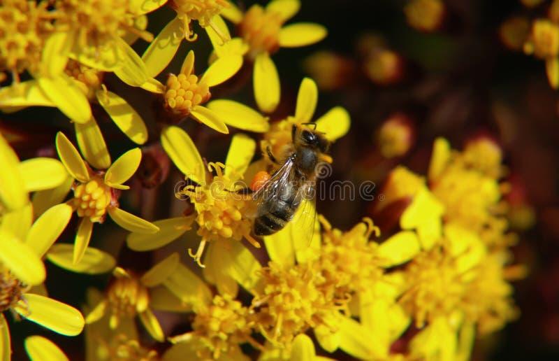 zamknięty pszczoły kolekcjonowanie obrazy stock