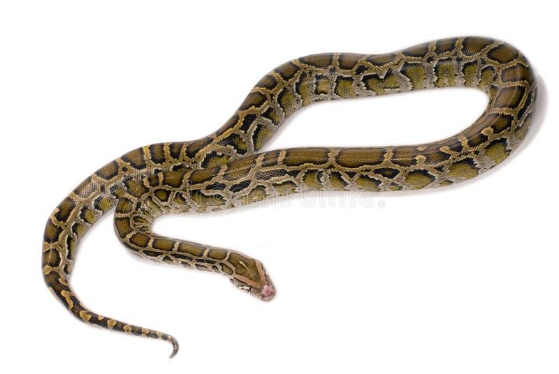 zamknięty pytonu zamknięty wąż obraz royalty free