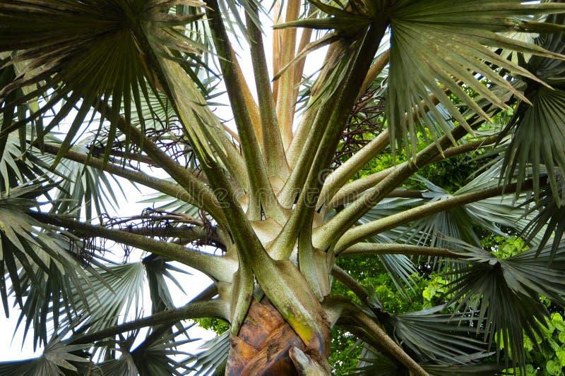 Zamknięty spojrzenie przy drzewkiem palmowym zdjęcia stock