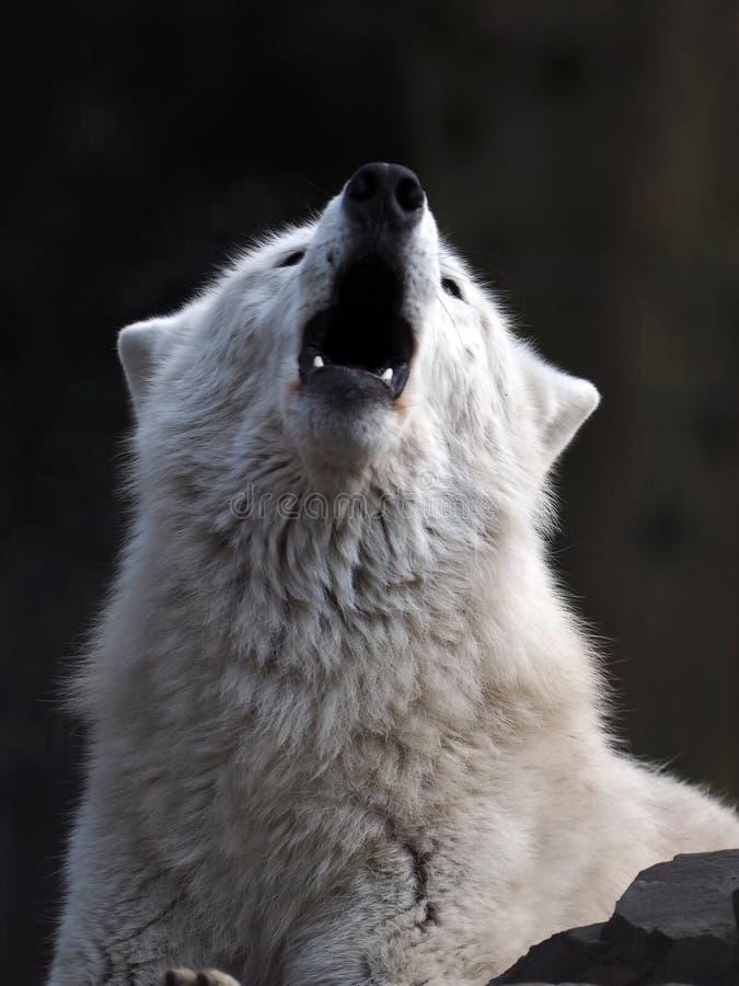 zamknięty target249_0_ w górę wilka obrazy royalty free