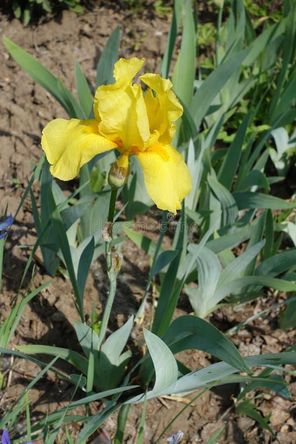 Zamknięty widok żółty kwiat niemiecki irys obraz royalty free