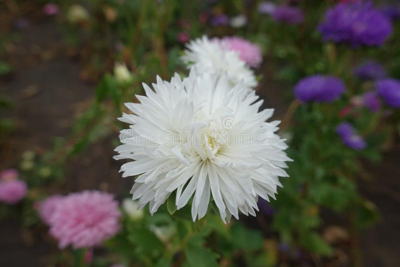 Zamknięty widok biały kwiat Porcelanowy aster zdjęcie stock
