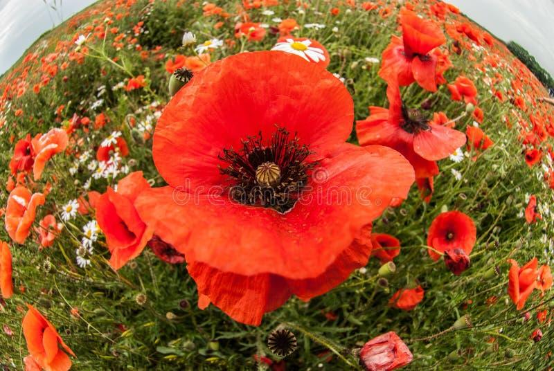 Zamknięty widok czerwoni maczki na lato kwiatu polu zdjęcie stock