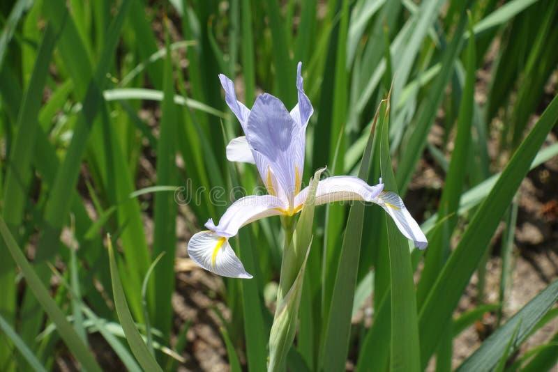 Zamknięty widok kwiat Irysowy spuria zdjęcia royalty free