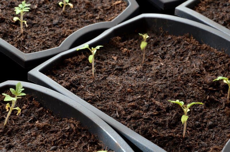 Zamknięty widok przy malutkimi pomidorowymi rozsadami zasadzać w kwiatów garnkach zdjęcia royalty free