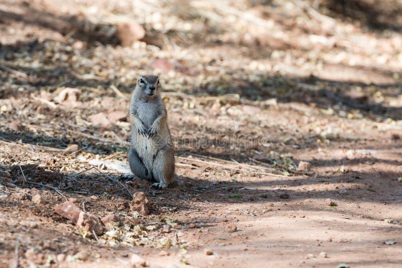 Zamknięty widok puszysta zmielona wiewiórka przy Etosha parkiem narodowym zdjęcia stock