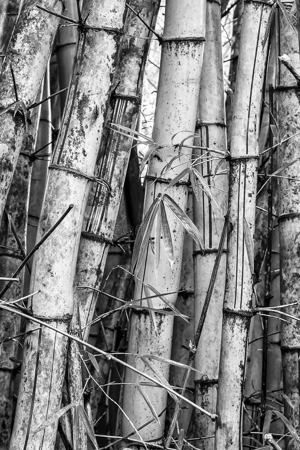 Zamknięty wizerunku szczegół w Czarny I Biały Bambusowych Drzewnych bagażnikach zdjęcia royalty free
