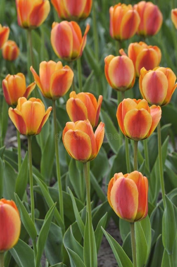 zamknięty zamknięci tulipany zdjęcia stock
