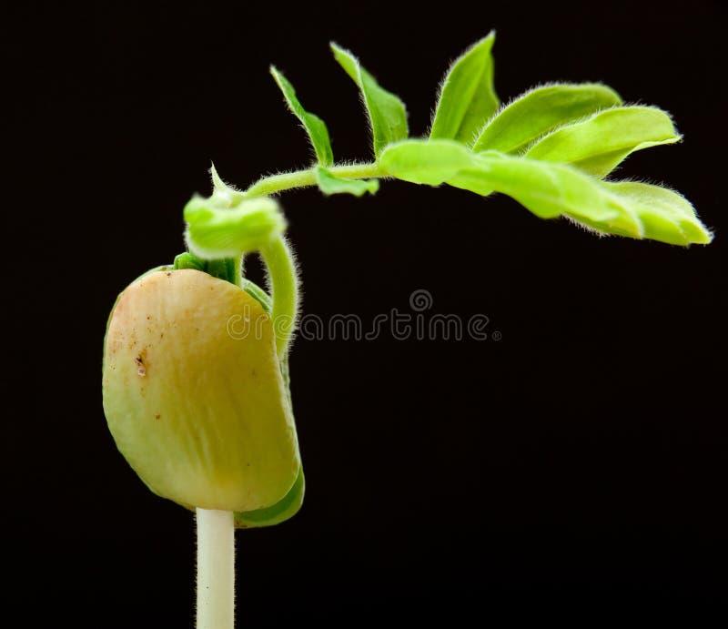 zamknięty zieleni flancy tamaryndy drzewo w górę potomstw obraz royalty free