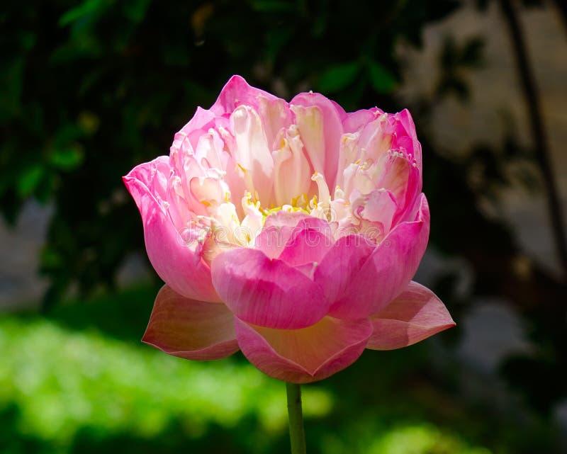 zamkni?ty kwiatu zamkni?ty lotos obraz royalty free