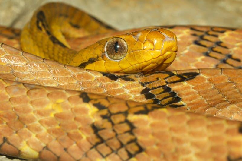 Zamknij wąż oka kota-ząbka w tajlandii obraz stock