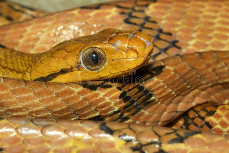 Zamknij wąż oka kota-ząbka w tajlandii obrazy stock