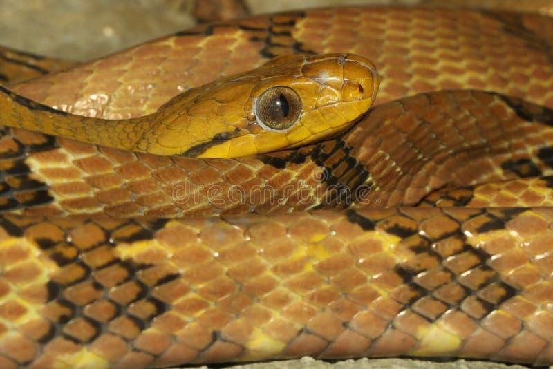 Zamknij wąż oka kota-ząbka w tajlandii zdjęcia stock