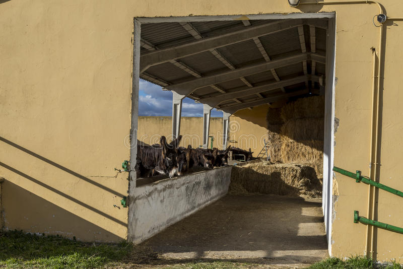 Zamora osły zdjęcie royalty free