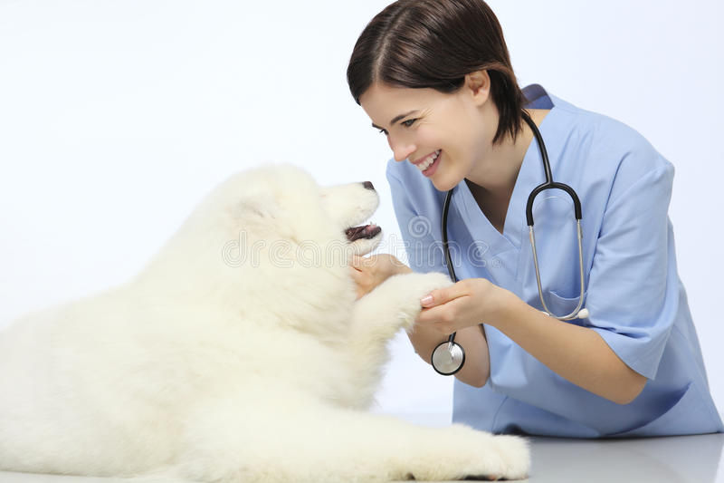 Zampa d'esame sorridente del cane del veterinario sulla tavola nella clinica del veterinario immagine stock libera da diritti