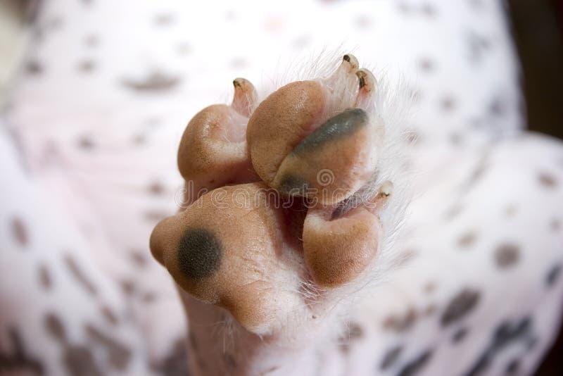 Zampa del cane sporco fotografia stock libera da diritti