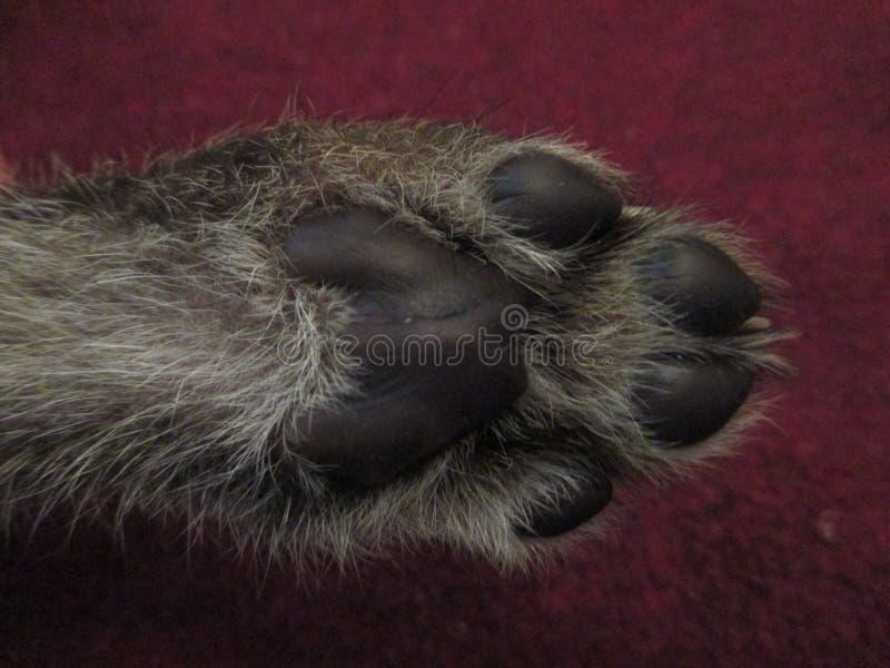 Zampa del cucciolo del ghepardo fotografia stock