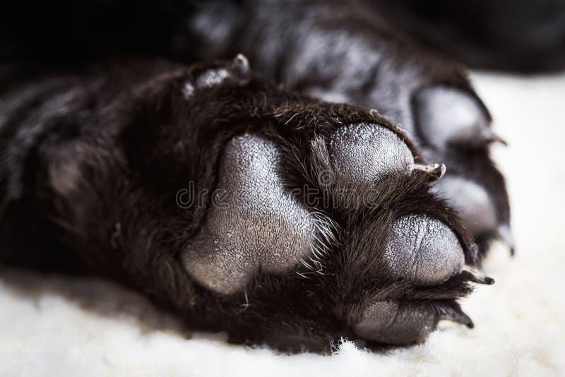 Zampa di labrador del cane con i cuscinetti fotografia stock