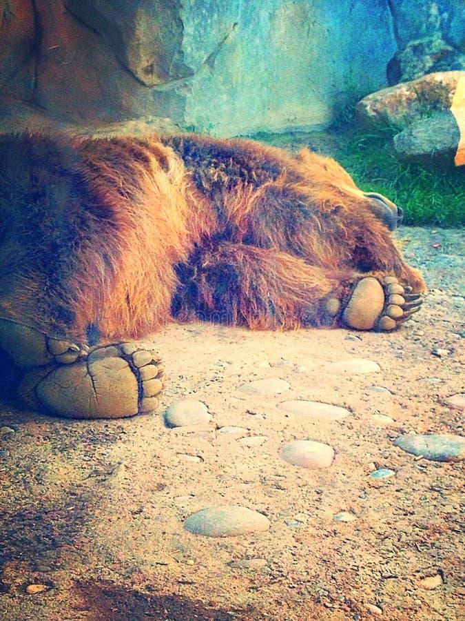Zampa di orso fotografia stock libera da diritti
