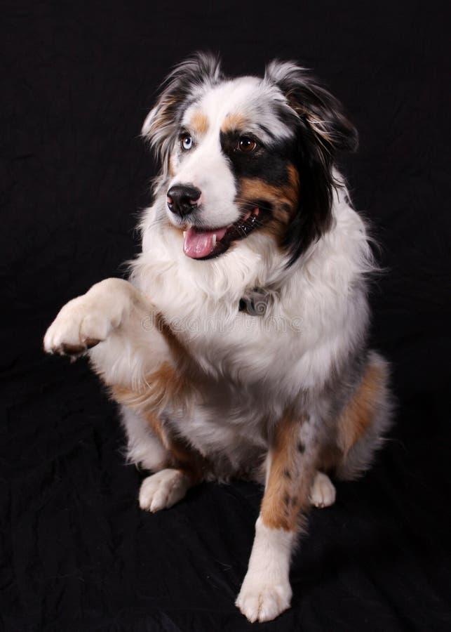 Zampa di scossa del cane fotografia stock