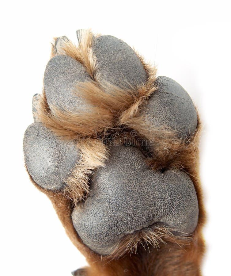 Zampa di un cane della razza un Rottweiler immagine stock libera da diritti