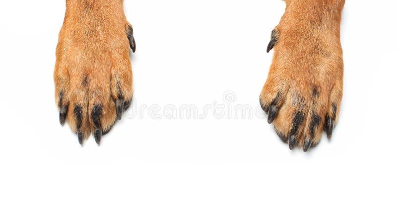 Zampe di Rottweiler fotografie stock libere da diritti