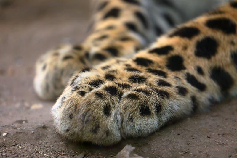Zampe di un leopardo fotografia stock