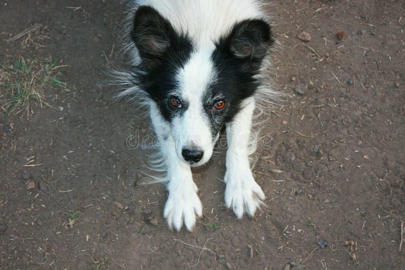 Zampe divertenti allegre in bianco e nero del cane su su terra fotografia stock