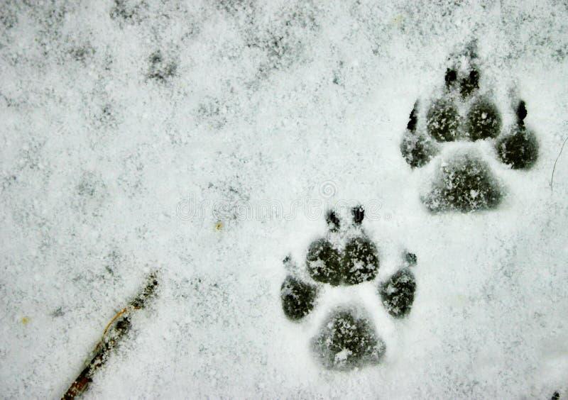 Zampe nella neve fotografia stock