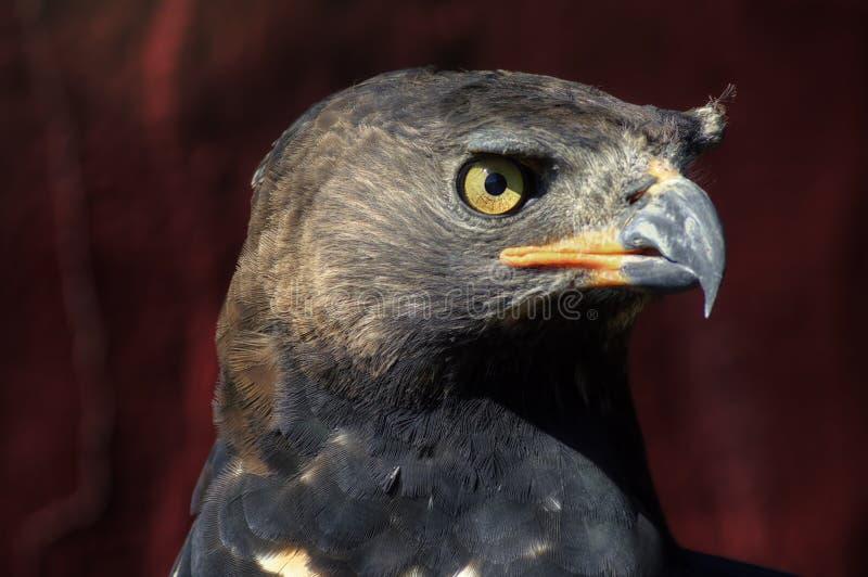Zamyka afrykanin Koronujący Eagle Up Stawia czoło obraz stock
