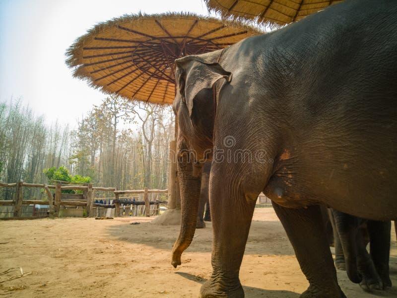 Zamyka do strony żeński słoń zdjęcie stock